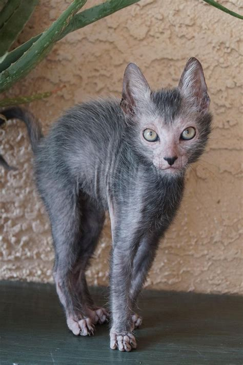 Lykoi is now home & thats also his breed! Love that scary
