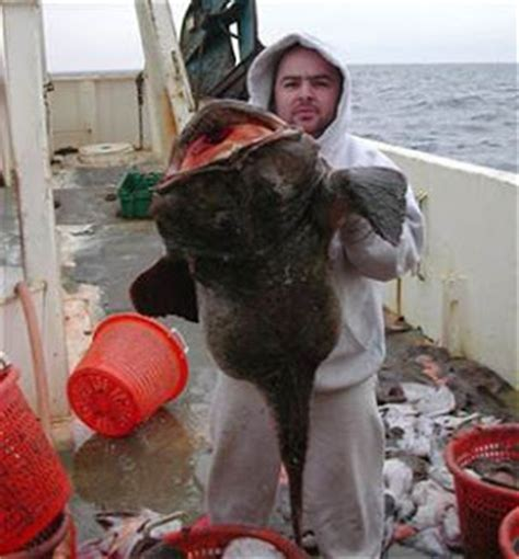 Big Fishes of the World: ANGLER FISH MONKFISH (Lophius