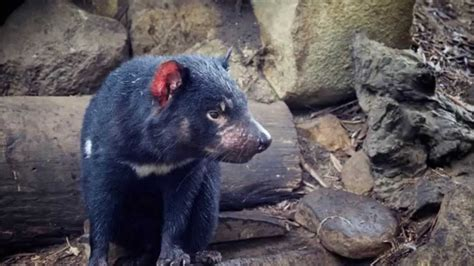 Amazing Facts About Tasmanian Devils - YouTube