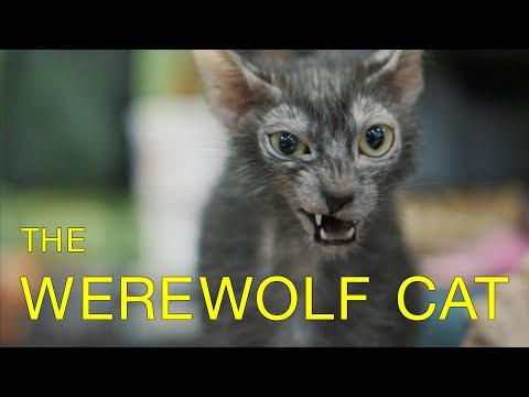 "Meet the Lykoi: An Odd New Breed of ""Werewolf"" Cats"