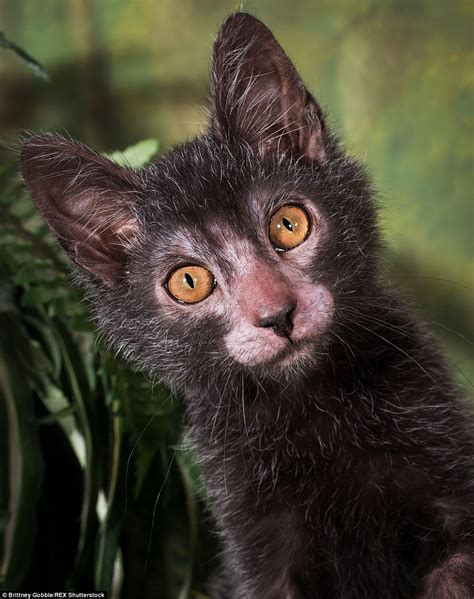 Unique Lykoi breed of cat christened 'werewolf cats' see a