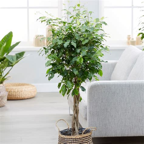 Buy weeping fig Ficus benjamina 'Exotica'